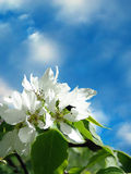 Apple-tree flower and sky. Apple-tree flower on background of blue sky in a spring day. Background for celebratory card Stock Photo