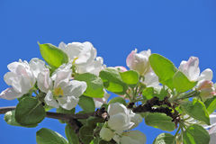 Apple tree flower and sky Stock Photo