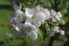 Apple tree flower Stock Images