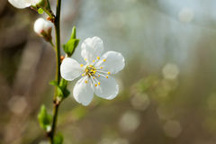 Apple tree flower on twig. Apple tree blossoming in spring. Royalty Free Stock Photography