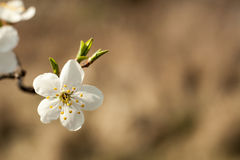 Apple tree flower on twig. Apple tree blossoming in spring. Stock Photography