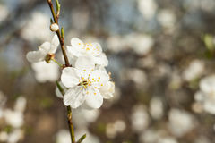 Apple tree flower on twig. Apple tree blossoming in spring. Stock Images