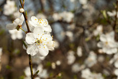 Apple tree flower on twig. Apple tree blossoming in spring. Royalty Free Stock Image
