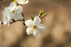Apple tree flower on twig. Apple tree blossoming in spring. Stock Image