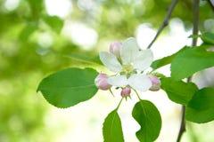 Apple tree flower royalty free stock photos