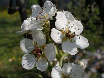 Apple tree flower. Apple tree white flowers Royalty Free Stock Photography
