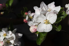 Apple tree in flower Stock Photography