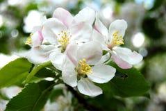 Apple Tree Flower. White and pink apple tree flower closeup stock image