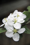 Apple tree flower Stock Photo