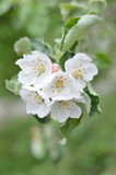 Apple tree flower. Xlose up royalty free stock photography