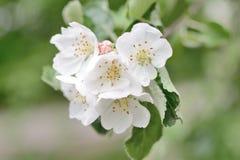 Apple tree flower Stock Image