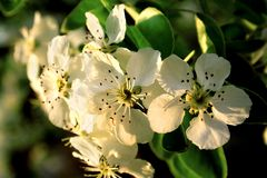 The apple tree flowering Stock Photos