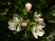 Apple-tree flowering Stock Photos