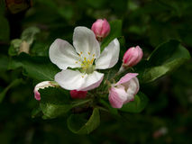 Apple-tree flowering Stock Image