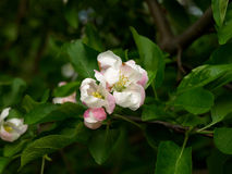 Apple-tree flowering Royalty Free Stock Photos