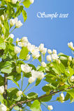 Apple tree flowers Stock Images