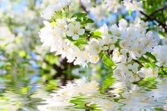 Apple tree flowers Stock Images