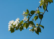 Apple-tree flowers Royalty Free Stock Images