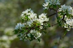 Apple-tree flowers Royalty Free Stock Photos