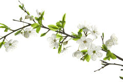 Apple-tree flowers Stock Image