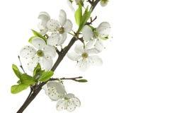 Apple-tree flowers Royalty Free Stock Image