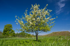 Apple tree with flowers Stock Photo