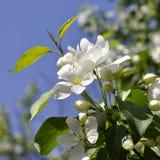 Apple-tree flowers. Royalty Free Stock Photo