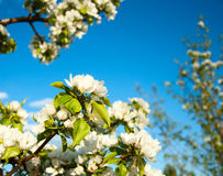 Apple-tree flowers. On blue sky background Stock Photo