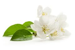 Apple tree flowers Stock Photography
