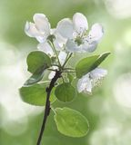 Apple tree flowers. On green stock photos