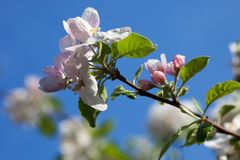 Apple tree flowers against the blue sky background Stock Photos