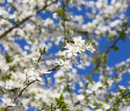 Apple tree flowers, bee Royalty Free Stock Images