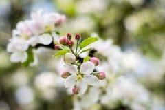 Apple tree. Flowers in bloom Royalty Free Stock Photo
