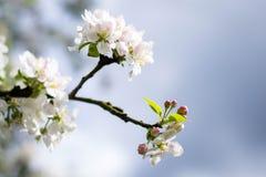 Apple tree. Flowers in bloom Royalty Free Stock Photos
