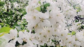 Apple tree flowers in bloom as floral background, garden and nature