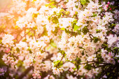 Apple tree flowers royalty free stock photography