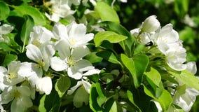 Apple tree flowers blossom close stock footage