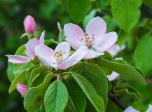 Apple tree flowers blossom. Macro of apple tree flower blossom Stock Photo