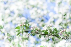 Apple tree flowers blossom macro view. Blossoming white pink petals fruit tree branch, tender blurred bokeh background royalty free stock image