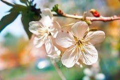 Apple tree flowers Stock Photo