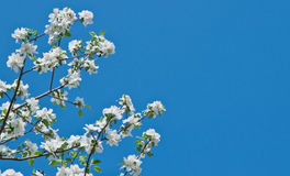 Apple tree flowers Stock Photos