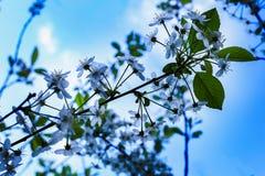 Apple-tree flowers in blue toning. The Apple-tree flowers in blue toning royalty free stock images