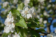 Apple-tree flowers. Branch with blooming flowers of the apple-tree in the garden Royalty Free Stock Image