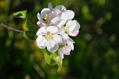 Apple-tree flowers. Branch with blooming flowers of the apple-tree in the garden Royalty Free Stock Photos