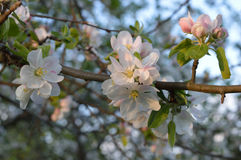Apple-tree flowers. Branch of the flowering apple-tree in the morning light Royalty Free Stock Image