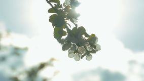 Apple tree flowers on a branch in the sun slow motion video. Apple tree flowers on a branch in the sun the breeze swaying slow motion video stock footage