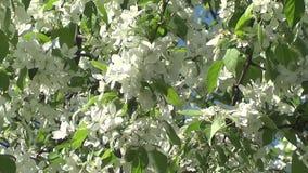 Apple tree flowers stock video footage