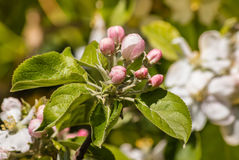 Apple tree flowers and buds in springtime Royalty Free Stock Photo