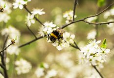 Apple tree flowers and bumble bee Stock Images