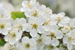 Apple tree flowers Royalty Free Stock Photo